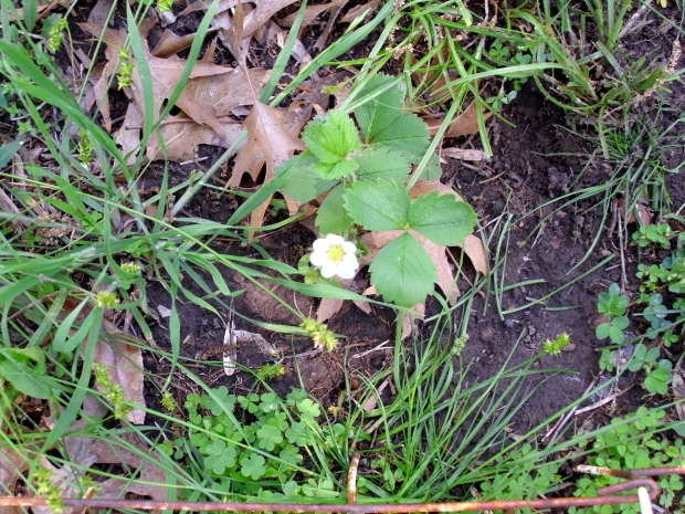 The first strawberry bloom!