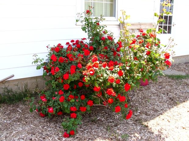 Roses EVERYWHERE!
