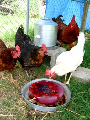 frozen fruits and veggies for chickens