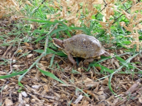 Female Ornate Box Turtle