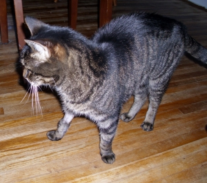 Tabby with his fur boot (front right leg) - they had to shave his leg to put the IV in.